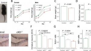 Mouse neurogenesis